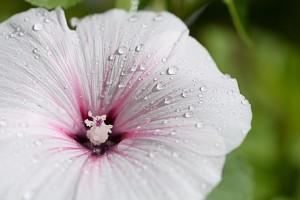 hibiscus-417472_640