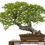 Cura e benessere del Bonsai durante la stagione autunnale