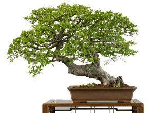 14155372 - old chinese elm as bonsai tree is white isolated