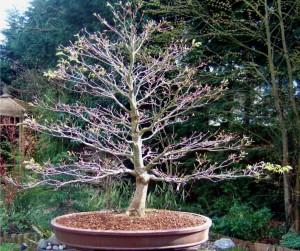 bonsai acero primavera risveglio