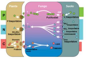 micorrize interazione