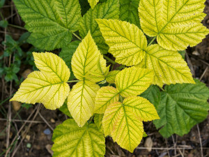 60897123 - rasperry with chlorosis. yellow leaves.probably lack of iron. gardening problem.