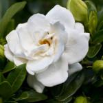 La Gardenia sta per fiorire: come aiutarla?