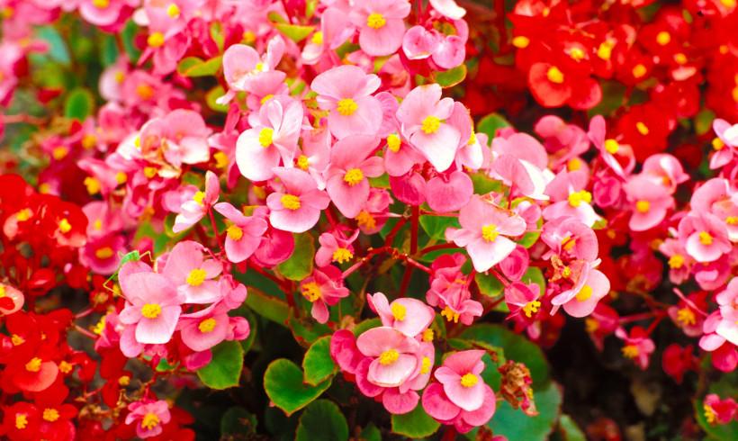 La Begonia: simbolo di gratitudine e di rispetto