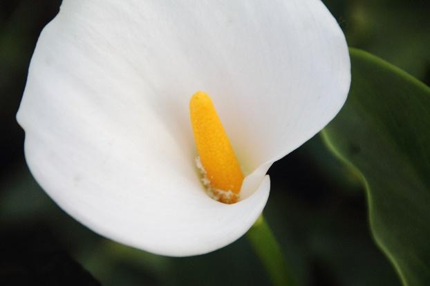 La Calla: fiore simbolo della purezza e della bellezza