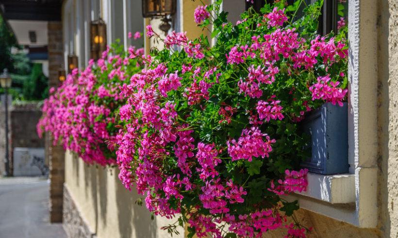 Gerani da favola : tutti i segreti per coltivarli in vaso
