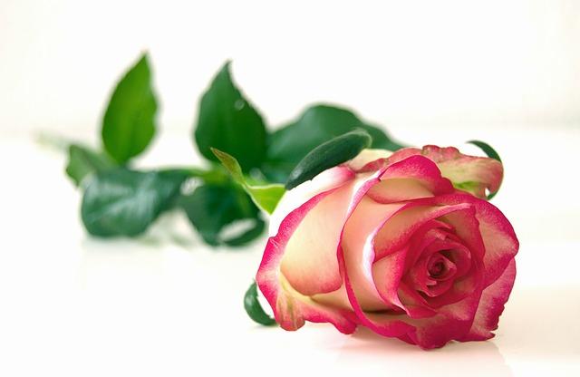 Talea rose: quando piantare le rose e come effettuare la riproduzione per talea