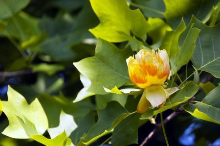Tulipifero: consigli per la messa a dimora dell'Albero dei Tulipani