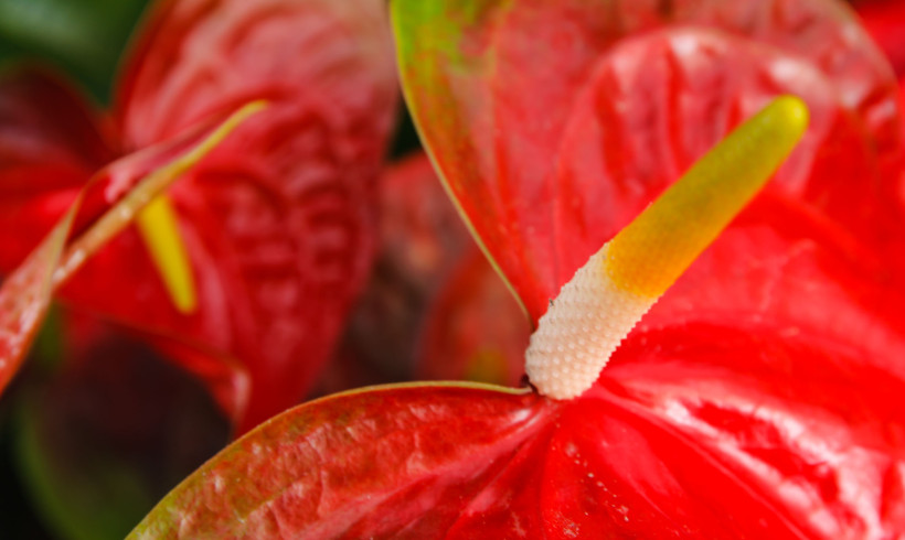 Anthurium, la pianta ideale per arredare le nostre case