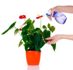 vaporizzare l'anthurium per ricreare le temperature umide tipiche dei tropici