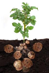 patata- tubero