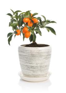 kumquat in vaso