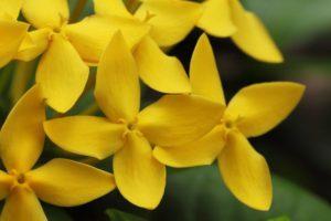gelsomino giallo piante resistenti in inverno