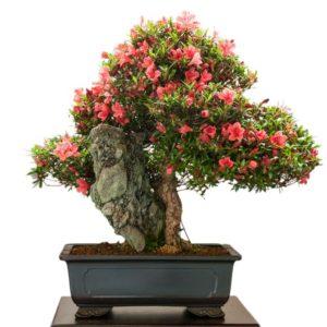 Bonsai in fiore