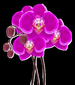 Orchidea concimazione- cura orchidee