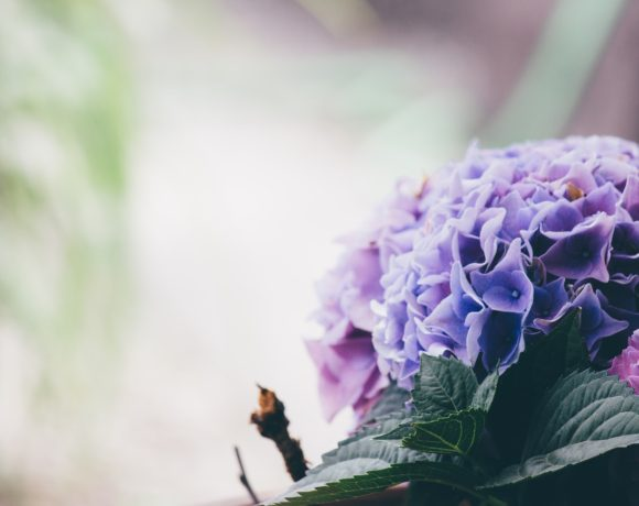 Ortensia: Cura – concimazione- potatura
