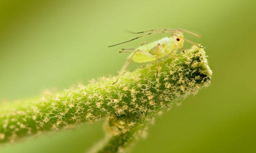 Gli afidi : rimedi naturali contro i pidocchi delle piante