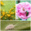I parassiti delle rose : ragnetto rosso, afidi, cocciniglie e tanti altri