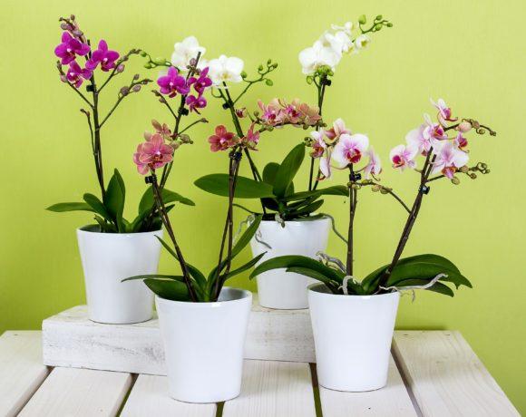 Come curare l'orchidea? Annaffiatura – Esposizione – Concimazione
