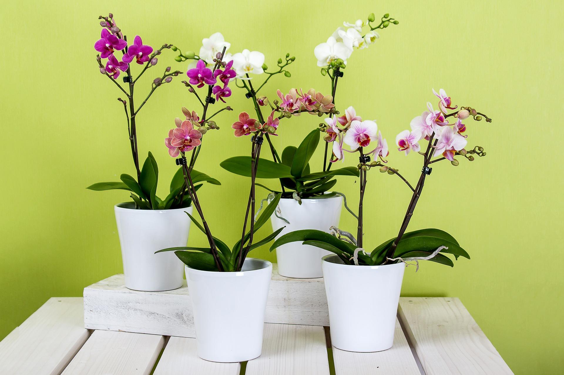 Come Curare Le Piante come curare l'orchidea? annaffiatura, esposizione, concimazione