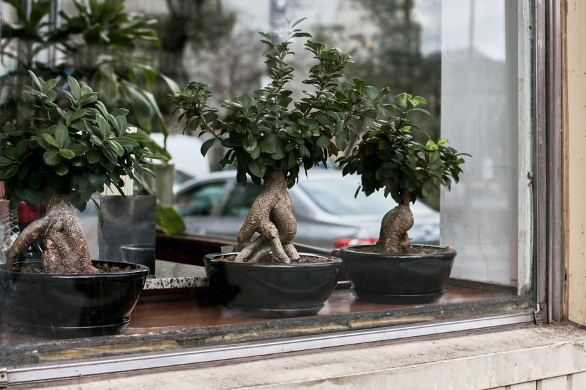Bonsai To Start Discover The Ideal Plants For Beginners Bioges It