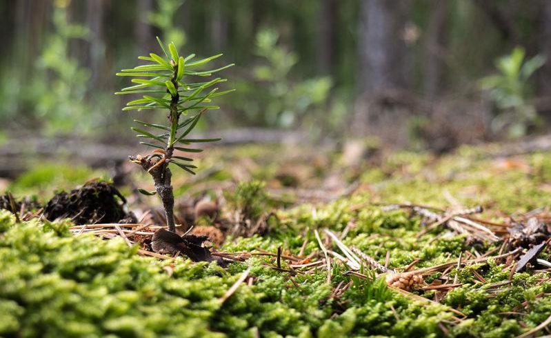 Conifere : le specie più utilizzate nella creazione del bonsai