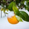 Agrumi : le cure necessarie per superare l'inverno
