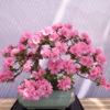 Bonsai da fiore : consigli utili sulla cura e concimazione dell'azalea – Bioges