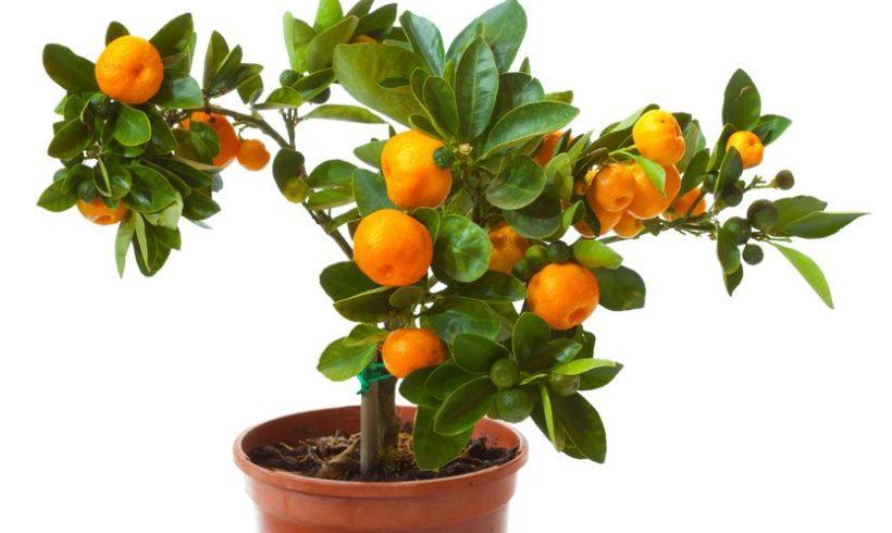 Agrumi in vaso : varietà, cura e concimazione