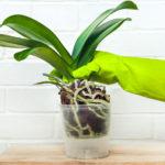 rinvaso orchidea phalaenopsis