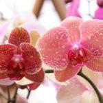 orchidea phalaenopsis come curarla