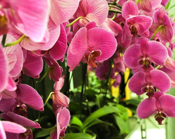 Phalaenopsis orchideeën verzorgen, onderhouden en bemesten