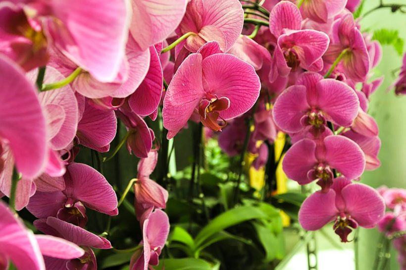 Phalaenopsis orchids care, maintenance and fertilization