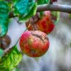 Ticchiolatura: quali sono le piante più colpite