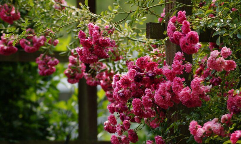 Piante rampicanti fiorite e rampicanti sempreverdi
