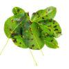 Ruggine delle piante: come si manifesta, consigli utili e rimedi naturali